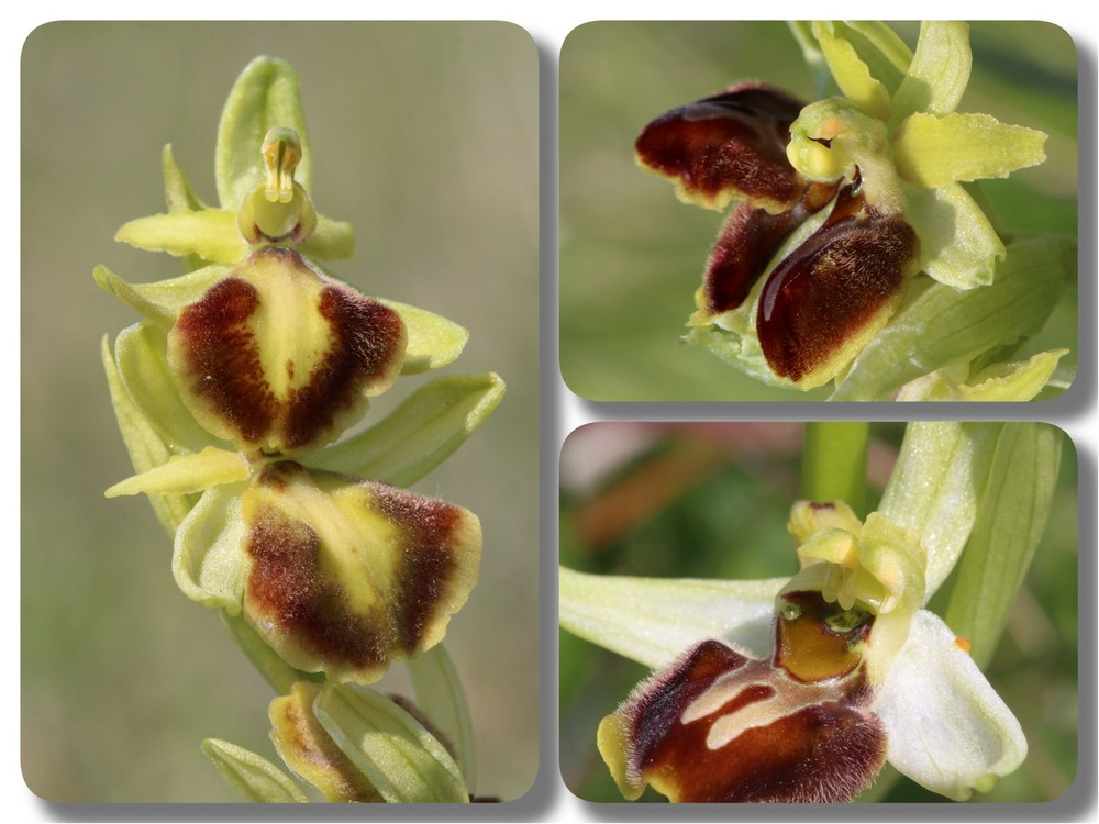 3 lusus de St loup Ophrys%20StLoup%20lusus